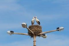 2 птицы аистов сопрягая na górze lampstreet в Faro, Алгарве Стоковые Фотографии RF