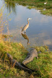 птицы аллигаторов Стоковые Фото
