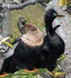Птицы американской змеешейки Стоковое Фото
