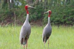 Птицы Антигона Grus крана Sarus Таиланда Стоковая Фотография RF