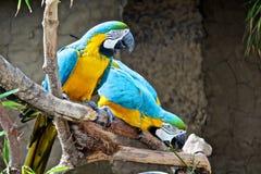 Птицы ары Стоковые Фото