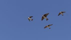 Птицы ласточки дерева Стоковая Фотография RF