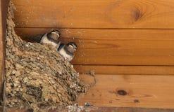 Птицы ласточки новорожденного Стоковое фото RF