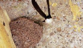 Птицы ласточки Стоковая Фотография RF