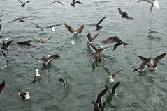 Птицы - альбатросы Стоковые Изображения