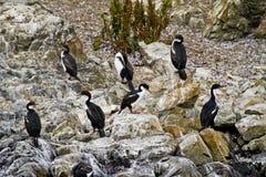 Птицы - бакланы на утесах Стоковое Изображение RF