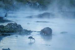 Птицы бегемота и воды в национальном парке Kruger, южном Afri Стоковое Изображение RF