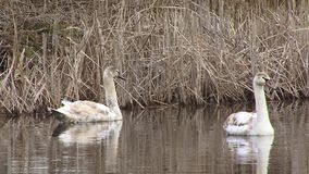 Птицы безгласного лебедя плавая на поверхности воды заболоченных мест видеоматериал