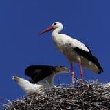 Птицы белого аиста на гнезде весной приправляют Стоковые Изображения