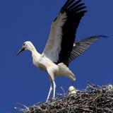 Птицы белого аиста на гнезде весной приправляют Стоковые Изображения RF