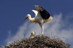 Птицы белого аиста на гнезде весной приправляют Стоковое Изображение
