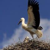 Птицы белого аиста на гнезде весной приправляют Стоковая Фотография