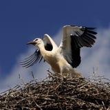 Птицы белого аиста на гнезде во время вложенности весны приправляют Стоковые Изображения