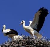 Птицы белого аиста на гнезде во время вложенности весны приправляют Стоковые Фото