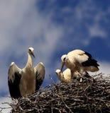 Птицы белого аиста на гнезде во время вложенности весны приправляют Стоковые Изображения RF