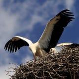Птицы белого аиста на гнезде во время вложенности весны приправляют Стоковая Фотография