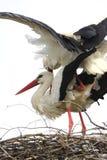 Птицы белого аиста на гнезде во время периода вложенности весны Стоковые Изображения RF