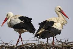 Птицы белого аиста на гнезде во время периода вложенности весны Стоковая Фотография