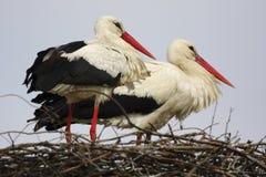 Птицы белого аиста на гнезде во время периода вложенности весны Стоковое Изображение RF