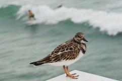 Птицы берега, пляж juno, Флорида Стоковые Фотографии RF