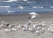 Птицы берега Стоковая Фотография RF
