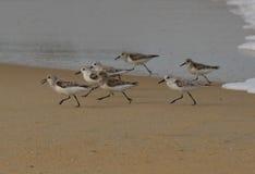Птицы берега Стоковая Фотография