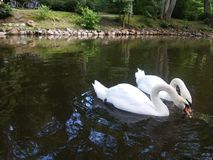 птицы белые Стоковая Фотография