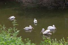Птицы белых пеликанов группы Стоковая Фотография