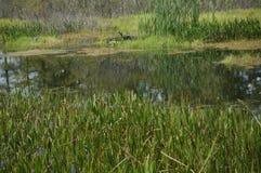 Птицы болота в болоте стоковое изображение