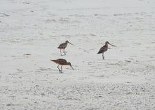 Птицы Брайна на песке Стоковое фото RF