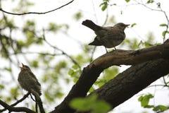 Птицы Британии и Европы Стоковое Изображение RF