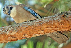 птицы взгляды hoopoe вниз Стоковые Изображения RF