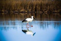 Птицы воды ищут еда в болотах Стоковая Фотография