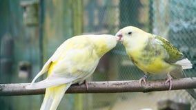 Птицы волнистого попугайчика попыгаи концепция влюбленности budgie Стоковые Изображения