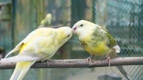 Птицы волнистого попугайчика попыгаи концепция влюбленности budgie Стоковое Изображение RF