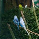 Птицы волнистого попугайчика попыгаи птица budgies Стоковое Изображение RF