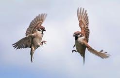 2 птицы воробья летают к распространять одина другого широко их Стоковое Изображение