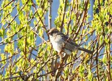 Птицы воробья на ветви дерева Стоковая Фотография RF