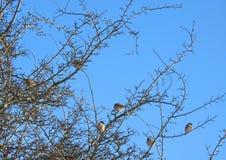 Птицы воробья на ветвях дерева, Литве Стоковая Фотография