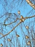 Птицы воробья на ветвях дерева Стоковые Фотографии RF