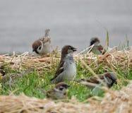 Птицы воробья на траве Стоковое фото RF