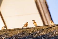 Птицы воробья садятся на насест на крыше дома Стоковые Изображения RF
