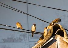 Птицы воробья садятся на насест на крыше и шнуре питания Стоковая Фотография