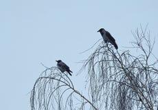 2 птицы вороны, Литва Стоковое Фото