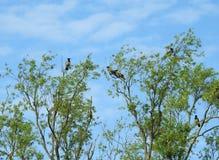 Птицы вороны на ветвях дерева, Литве Стоковые Изображения RF