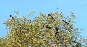 Птицы вороны на ветвях дерева, Литве Стоковая Фотография