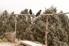2 птицы ворон воронов сидя поперечина, лес Непала Стоковые Фотографии RF