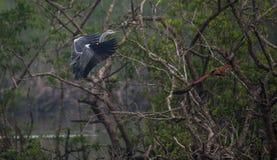 Птицы воюя в воздухе Стоковое Фото