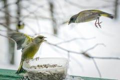 Птицы воюя над семенами подсолнуха Стоковые Изображения