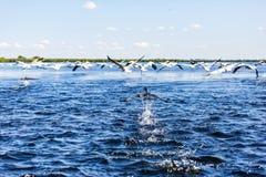 Птицы воды летания в перепаде Дуная Стоковые Изображения RF